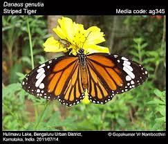 danaus genutia striped tiger butterflies of india