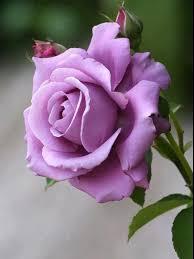 swane s nurseries blue moon roses