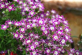 phlox flower phlox flower varieties