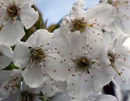 white cherry blossom file white cherry blossom 4551208506 jpg wikimedia commons