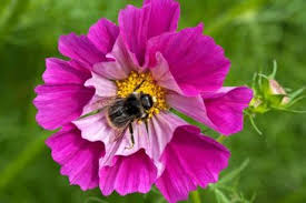 Flowers Bees Pollinate - get your garden buzzing with our free rhs perfect for pollinators