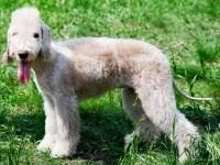 bedlington terrier stud valgo kennels bedlington terrier breeder in coronado california