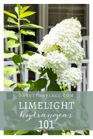 flower gardening 101 all about limelight hydrangeas how to grow limelight hydrangeas