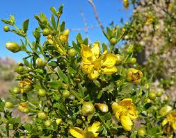 Yellow Flowering Bushes And Shrubs Year Round Color Plants U0026 Shrubs Desert Horizon Nursery