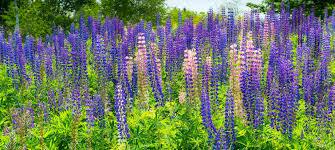 maine native plants maine wildflowers stephen l tabone nature photography