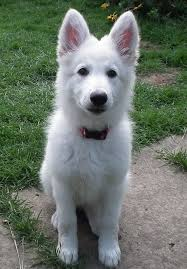 pictures of australian shepherd dogs best 25 white shepherd ideas only on pinterest white dogs pets