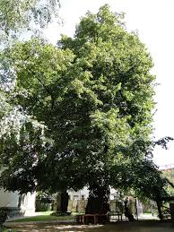 kaditz lime tree