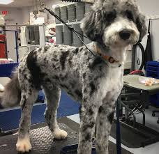 haircutsfordogs poodlemix 89 best dog grooming gallery images on pinterest gallery dog