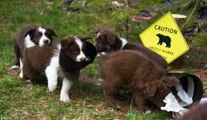 risk n hope australian shepherds puppies u2013 october 2017 superfly dogs u2013 australian shepherds in