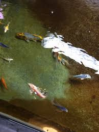 indoor koi pond monsterfishkeepers com