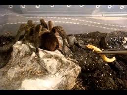 tarantula feeding 116 it s a one trust me lol