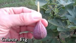 grape vine fig tree apple blackberry update trellis fruit