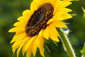 what should you do with sunflowers after they bloom home guides