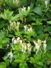 Very Fragrant Plants - lonicera japonica