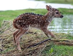 boy risks life to save baby deer from drowning baby deer animal