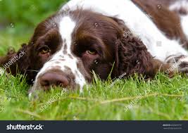 cute english springer spaniel lying on stock photo 662003779