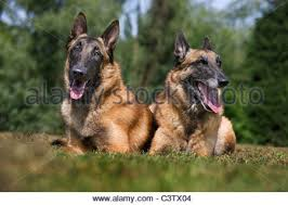 belgian shepherd dog malinois dog belgian shepherd malinois two puppies running in a field