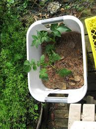 Vegetable Pot Gardening For Beginners Growing Potatoes In Containers How To Grow Potatoes In A Pot
