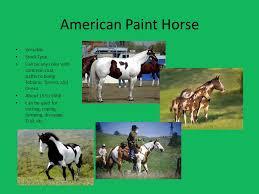 horse breeds american quarter horse versatile stock type horse