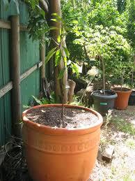 daleys fruit tree blog dwarf avocado trees fuss pots