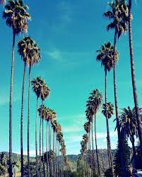 palm trees in los angeles california palm tree lined