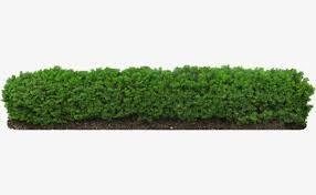 hedge plants fence ornamental prune png image for free