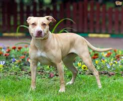 american stanford terrier y american pitbull terrier the four dog breeds banned within the uk pets4homes