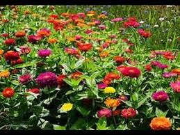 planting coleus zinnia and other flowers seeds indoors 2014 youtube
