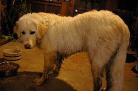 great pyrenees rescue provides wonderful dogs to good homes golden pyrenees golden retriever great pyrenees mix temperament