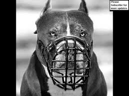 american pitbull terrier webbed feet pictures of dog muzzle pitbull dog muzzle pitbull dogs youtube