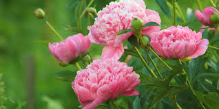 peonies flower history and meaning of peonies proflowers