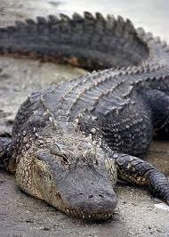 Interior Crocodile Alligator The Alligator Is A Killer Reptile Alligator Facts Bodybuilding