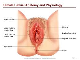 Female Sexual Anatomy Pictures Healthy Relationships And Sexuality Making Commitments Ppt