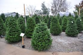 master gardener pick the perfect christmas tree this holiday