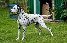 dalmatian dog quiet corner