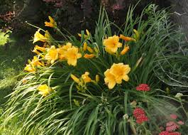 day lilies daylilies and yarrow homespun