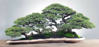 what is the secret meaning of bonsai tree 1body1health