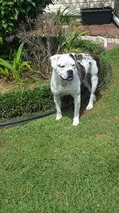 boxer dog rescue florida florida american bulldog rescue