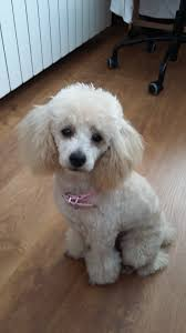 haircutsfordogs poodlemix leia my toy poodle toy poodles pinterest poodle toy and dog