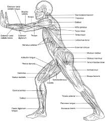 muscle anatomy coloring muscular system coloring pages az coloring