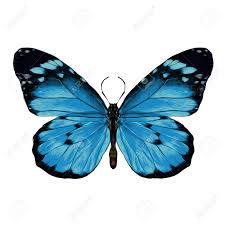 butterfly with open wings top view the symmetrical drawing