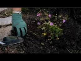 flower gardening how to garden with hardy geraniums youtube