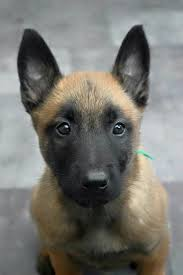 belgian shepherd dog temperament best 25 malinois puppies ideas on pinterest german malinois