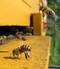 honey bees archives honeybees for farmers photo on astounding how