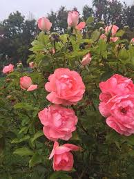 municipal rose garden san jose ca bunch of roses picture of