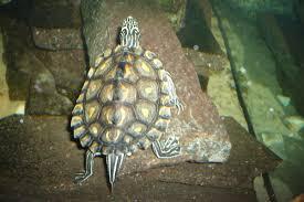 Texas Map Turtle Yellow Blotched Map Turtle Wikipedia