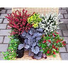 winterharte pflanzen balkon immergrüne pflanzen für balkon winterhart günstig kaufen