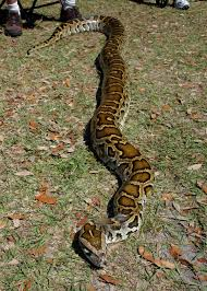 bermese python everglades fl e v e r g l a d e s n p