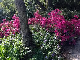 Azalea Topiary The Best Place To Garden In Australia U2013 Janna Schreier Garden Design