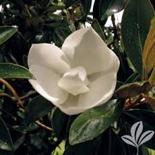 4 in x 4 in x 10 in magnolia gem container maglitbp